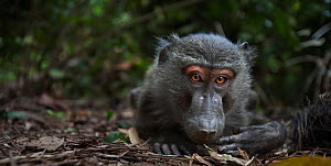 Olive baboon (Papio cynocephalus anubis) adolescent male peering with curiosity, wide angle perspective. Gombe National Park, Tanzania. June. - Anup Shah