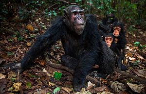 Eastern chimpanzee (Pan troglodytes schweinfurtheii) male 'Faustino' aged 23 years sitting on a forest trail 'wodging' on fruit while infants play around him. Gombe National Park, Tanzania. June 2012. - Anup Shah