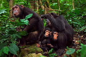Eastern chimpanzee (Pan troglodytes schweinfurtheii) female 'Gremlin' aged 41 years grooms her daughter 'Golden' aged 14 years while their infants 'Gizmo' aged 3 years and 'Glamma' aged 9 months sit b...  -  Anup Shah