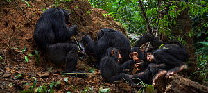 Eastern chimpanzee (Pan troglodytes schweinfurtheii) female 'Gremlin' aged 41 years and her daughter 'Gaia' aged 19 years termite fishing while their sons play. Gombe National Park, Tanzania. May 2012... - Anup Shah