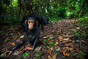 Eastern chimpanzee (Pan troglodytes schweinfurtheii) infant male 'Gizmo' aged 3 years sitting on the forest floor. Gombe National Park, Tanzania. May 2012.  -  Anup Shah