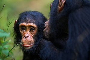 Eastern chimpanzee (Pan troglodytes schweinfurtheii) 'Gimli' aged 8 years grooming his infant brother, 'Gizmo' aged 3 years. Gombe National Park, Tanzania. May.  -  Fiona Rogers