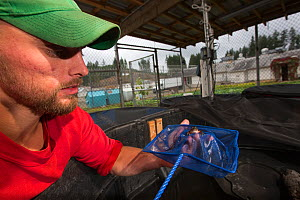 Inmate checking on Oregon spotted frog (Rana pretiosa) in breeding tank. Prisoners in this facility are raising endangered frogs for release in the wild, as part of the Sustainability in Prisons Proje...  -  Cyril Ruoso