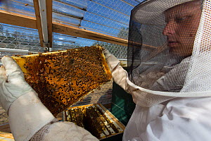 Inmate beekeeper with honeycomb of Honey Bee (Apis mellifera). Inmates in this prison are keeping bees as part of the Sustainability in Prison program, Cedar Creek Corrections Center, Washington, USA....  -  Cyril Ruoso