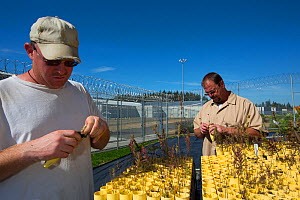 Inmates tending to native prairie plant seedlings as part of Sustainability in Prison program, Stafford Creek Corrections Center, Washington, USA. September 2012.  -  Cyril Ruoso