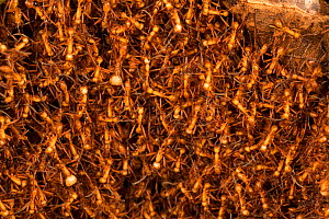 Army ants (Eciton hamatum) forming a  bivouac or temporary nest formed by the bodies of the insects, Barro Colorado Island, Gatun Lake, Panama Canal, Panama. - Cyril Ruoso