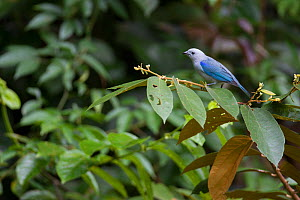 Blue-gray tanager (Thraupis episcopus) perched in tropical rainforest. Barro Colorado Island, Gatun Lake, Panama Canal. Panama.  -  Cyril Ruoso