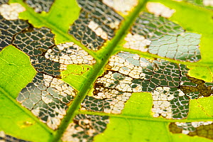 Leaf partially skeletonized by insects in tropical rainforest, Barro Colorado Island, Gatun Lake, Panama Canal, Panama. - Cyril Ruoso