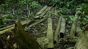 Tilt shot of illegal forest exploitation within the confines of the Gunung Leuser National Park, Northern Sumatra, Indonesia. 2015. - Jabruson Motion