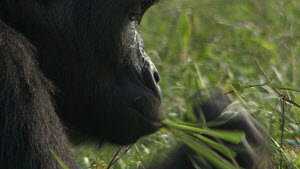 Close-up of a blackback Western lowland gorilla (Gorilla gorilla gorilla) feeding, Odzala-Kokoua National Park, Cuvette-Ouest, Republic of Congo.  -  Jabruson Motion