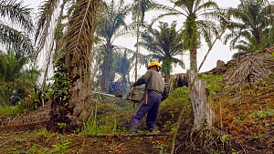 Chainsaw operator cutting down African oil palm ( Elaeis guineensis) in a plantation within the Protected Area of the Leuseur Ecosystem, part of a programme of habitat restoration, Tenggulun, Aceh Tam... - Jabruson Motion