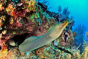 Green moray (Gymnothorax funebris) out of its hole or burrow, Belize, Caribbean  -  Pascal Kobeh