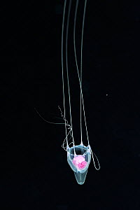 Box jellyfish (Cubozoa) in the open water at night, Palau, Philippine Sea - Pascal Kobeh