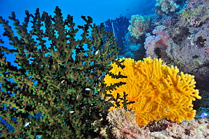 A coral drop off with soft corals (Dendronephthya sp), seafans or gorgonians (Semperina sp) and a hard coral green cup coral (Tubastrea micrantha) Palau, Philippine Sea - Pascal Kobeh