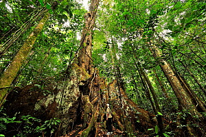 Man standing at base of enormous tropical rainforest tree  with aerial roots, French Guiana  -  Pascal Kobeh