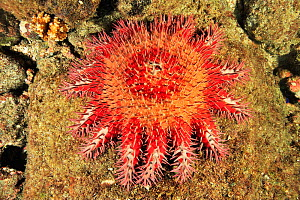 Crown-of-thorns starfish (Acanthaster planci) eating the coral, an invasive species that damages coral reefs, Panama, Pacific Ocean  -  Pascal Kobeh