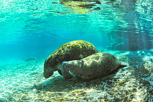 West Indian manatees (Trichechus manatus latirostris) calf trying to suckle from mtoher in the more temperate springs of Three Sisters Springs, Crystal River, Florida, USA - Pascal Kobeh