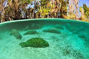 West Indian manatees (Trichechus manatus latirostris) group sleeping in the more temperate springs of Three Sisters Springs, Crystal River, Florida, USA - Pascal Kobeh
