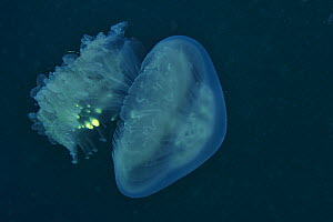 Jellyfish (Rhizostoma sp) is the host of commensal juveniles fish looking for a protection against their predators, Sulu Sea, Philippines - Pascal Kobeh