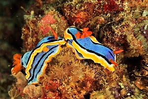 Anna's nudibranchs (Chromodoris annae) two looking about to mate, Sulu Sea, Philippines  -  Pascal Kobeh
