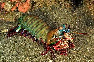 Mantis shrimp (Odontodactylus scyllarus) out of its burrow, Sulu Sea, Philippines  -  Pascal Kobeh