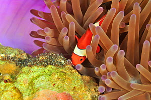Western / False clown anemonefish (Amphiprion ocellaris) in a Magnificent sea anemone (Heteractis magnifica) ventilating its eggs, Sulu Sea, Philippines - Pascal Kobeh