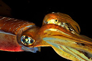 Bigfin reef squid (Sepioteuthis lessoniana) which has just caught a fish that it holds in its tentacles before eating it, Philippines, Sulu Sea  -  Pascal Kobeh