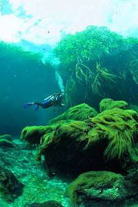 Diver above algae and near to the mangroves  of Cenote Casa or Manatee which is a cenote close to the sea and  connected to it by a very narrow passage,  Yucatan Peninsula, Mexico  -  Pascal Kobeh