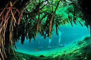 Divers close to the mangroves of Cenote Casa or Manatee which is a cenote close to the sea and  connected to it by a very narrow passage,  Yucatan Peninsula, Mexico  -  Pascal Kobeh