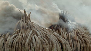 Stockpiles of African elephant ivory burning, set on fire by the Kenya Wildlife Service (KWS), Nairobi National Park, Kenya, 30th April 2016. - Jabruson Motion
