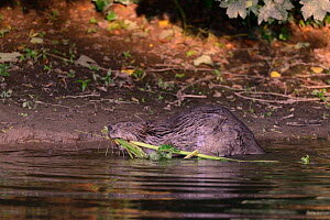 Eurasian beaver (Castor fiber) mother dragging stems and leaves of Common hogweed (Heracleum sphondylium) to the margins of the River Otter for her kits to feed on near their lodge, Devon, UK, July. P...  -  Nick Upton