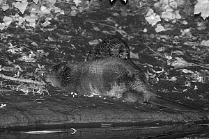 Eurasian beaver (Castor fiber) mother resting on the banks of the River Otter at night as one of her five kits climbs onto her back, Devon, UK, July. Part of Devon Wildlife Trust's Devon Beaver Trial.  -  Nick Upton