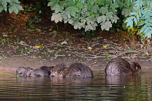 Eurasian beaver (Castor fiber) mother and three of her kits eating stems and leaves of Common hogweed (Heracleum sphondylium) which she has cut. On the margins of the River Otter alongside the father,...  -  Nick Upton