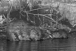 Eurasian beaver (Castor fiber) male nibbling a willow twig alongside one of his five kits at night , River Otter, Devon, UK, July. Part of Devon Wildlife Trust's Devon Beaver Trial.  -  Nick Upton