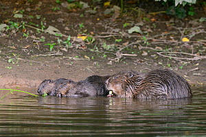 Eurasian beaver (Castor fiber) mother and three of her kits eating stems and leaves of Common hogweed (Heracleum sphondylium) she has cut on the margins of the River Otter, Devon, UK, July. Part of De...  -  Nick Upton