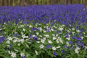 Bluebells (Hyacinthoides non-sripta) with Wood anemone (Anemone nemorosa) flowering in beech forest, Hallerbos,  Vlaams-Brabant, Belgium, April.  -  Kerstin  Hinze