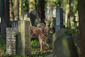 Roe deer (Capreolus capreolus), between gravestones in cemetary, Vienna, Austria, April.  -  Kerstin  Hinze