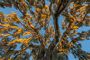 Spanish moss (Tillandsia usneoides) hanging from Oak tree, Crystal River, Florida, USA, January.  -  Ingo Arndt