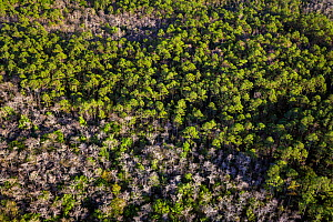 Bald Cypress (Taxodium distichum) and Slash Pine (Pinus elliottii) tree in forest, aerial view, Everglades, Florida, USA, January 2015. - Ingo Arndt