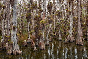 Bald cypress (Taxodium distichum) trees in swamp with lots of epiphytes growing on bark, Everglades National Park, Florida, USA, January 2015.  -  Ingo Arndt