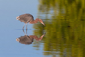 Reddish egret (Egretta rufescens) hunting, Sanibel Island, Florida, USA, January. - Ingo Arndt