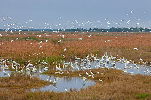 Mixed bird species feeding in shallow water: Great Egret (Ardea alba), Snowy Egret (Egretta thula), White Ibis (Eudocimus albus), Great Blue Heron (Ardea herodias), Roseate Spoonbill (Platalea ajaja),... - Ingo Arndt
