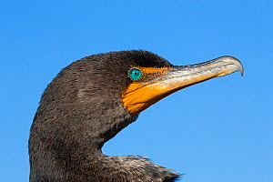 Double-crested Cormorant (Phalacrocorax auritus) adult, portrait, Everglades National Park, Florida, USA, January.  -  Ingo Arndt