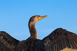 Double-crested Cormorant (Phalacrocorax auritus) sunning and drying feathers, Everglades National Park, Florida, USA, January.  -  Ingo Arndt