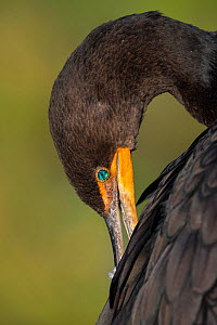Double-crested Cormorant (Phalacrocorax auritus) adult, close up, preening, Everglades National Park, Florida, USA, January.  -  Ingo Arndt