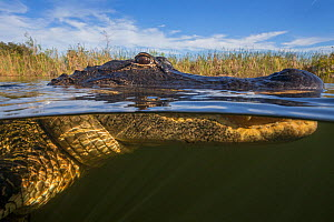 American alligator (Alligator mississippiensis) split level, Everglades, USA, January.  -  Ingo Arndt