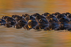 American alligator (Alligator mississippiensis) detail of skin on tail which provides protection and aids in thermoregulation, dark skin absorbs heat and the bony plates called scutes work like sun co... - Ingo Arndt