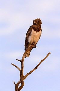 Black-chested snake eagle (Circaetus pectoralis) adult perched in tree, Masai Mara Game Reserve, Kenya  -  Ingo Arndt