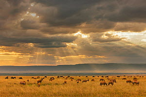 Topi (Damaliscus lunatus) herd grazing in plains landscape with rays of sunlight, Masai Mara Game Reserve, Kenya  -  Ingo Arndt