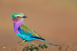 Lilac-breasted Roller (Coracias caudata) perched on termite mound, looking for insects, Masai Mara National Reserve, Kenya  -  Ingo Arndt